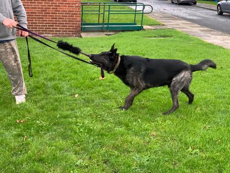Angus the reactive Malinois  cross german shepherd