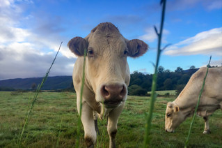 Occasional local cows cast their prolonged stares filled with a lazy mix of curiosity, incomprehension and, in the end, indifference.
