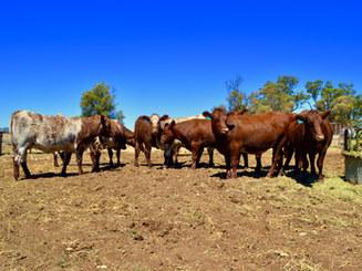 Beef Week 2017- RAS Heifer Challenge Finalists