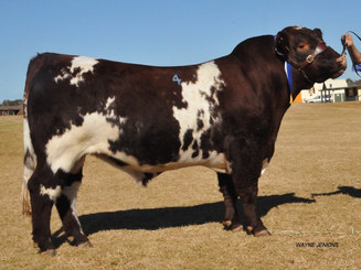 Dubbo National Show and Sale Division 4 Champion