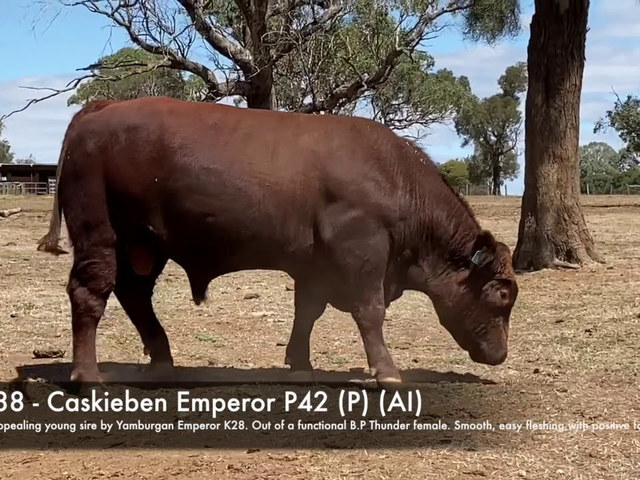 Caskieben Shorthorns Naracoorte Sale Team