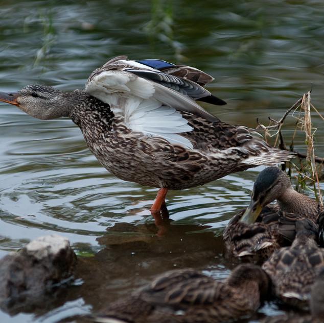 Ducks - Haliburton