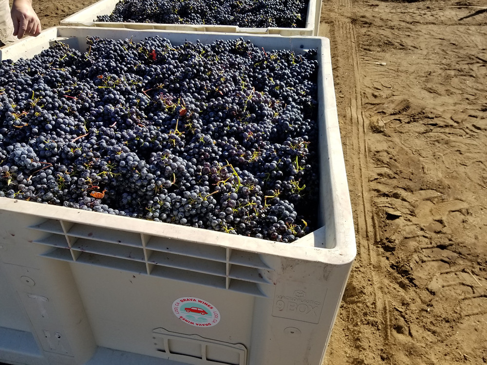Picking up the hand harvested Primitivo grapes