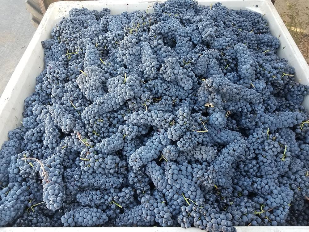 Teroldego grapes