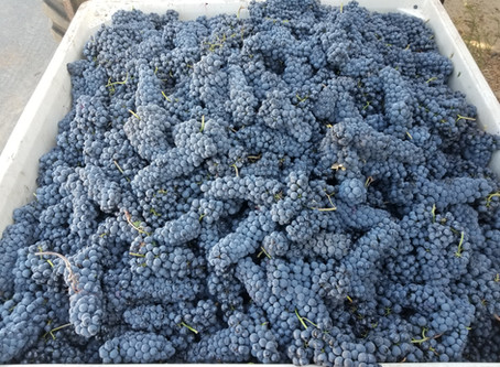 All the grapes of the 2019 vintage are in!