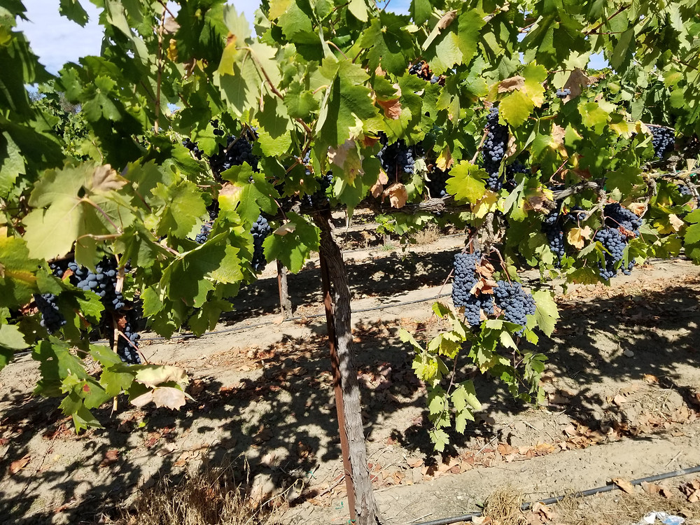 The Primitivo grapes just before harvest.