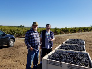 Harvest concludes with Primitivo