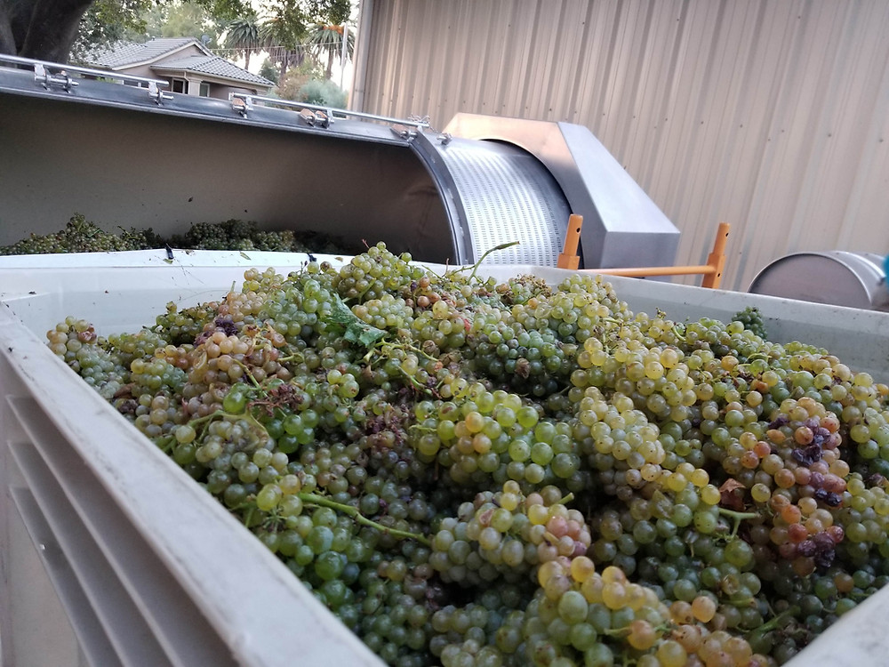 One bin of Grenache Blanc grapes loaded into the press, one to go