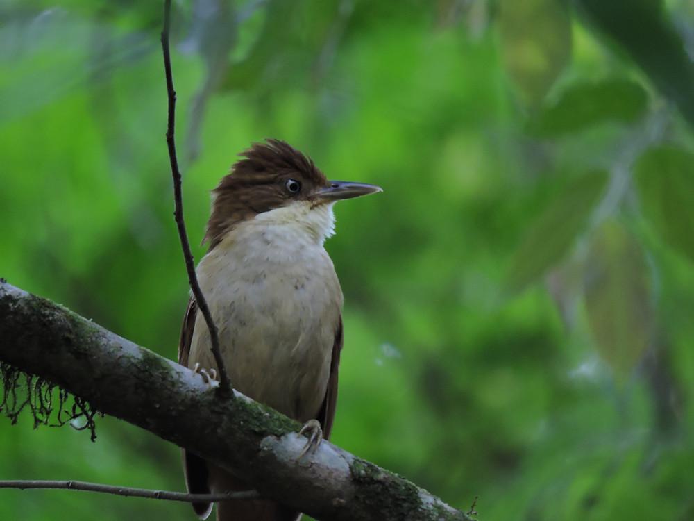 Barraqueiro-de-olho-branco (Automolus leucophthalmus)