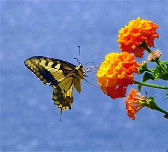 Papillon_edited_edited.jpg