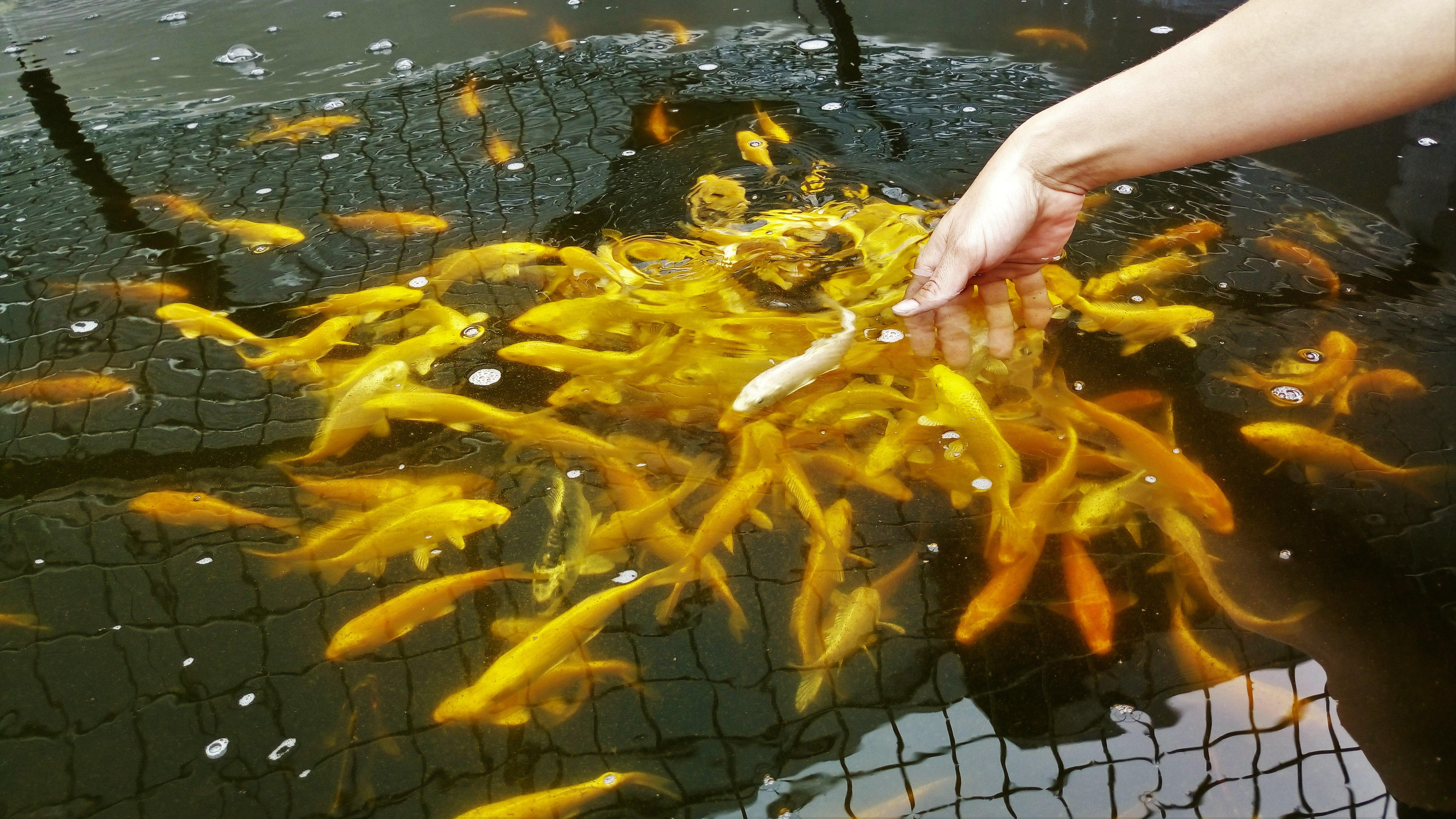 Gule guldfisk