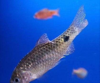 Fisk med forkølelse
