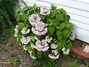 Our Garden July  2013 016.JPG
