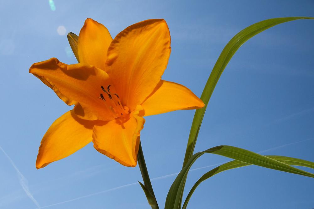 daylily-165884_1920.jpg