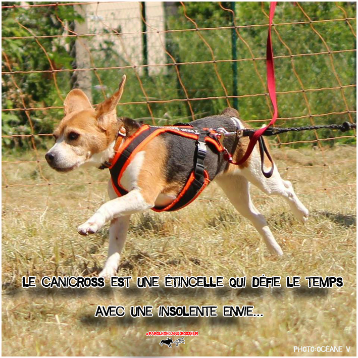 Canicross Addict beagle