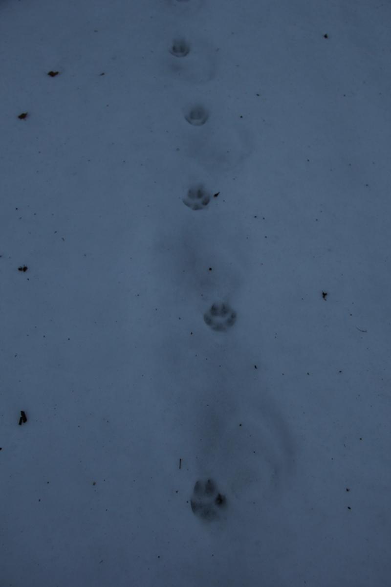 wolf hybrid tracks