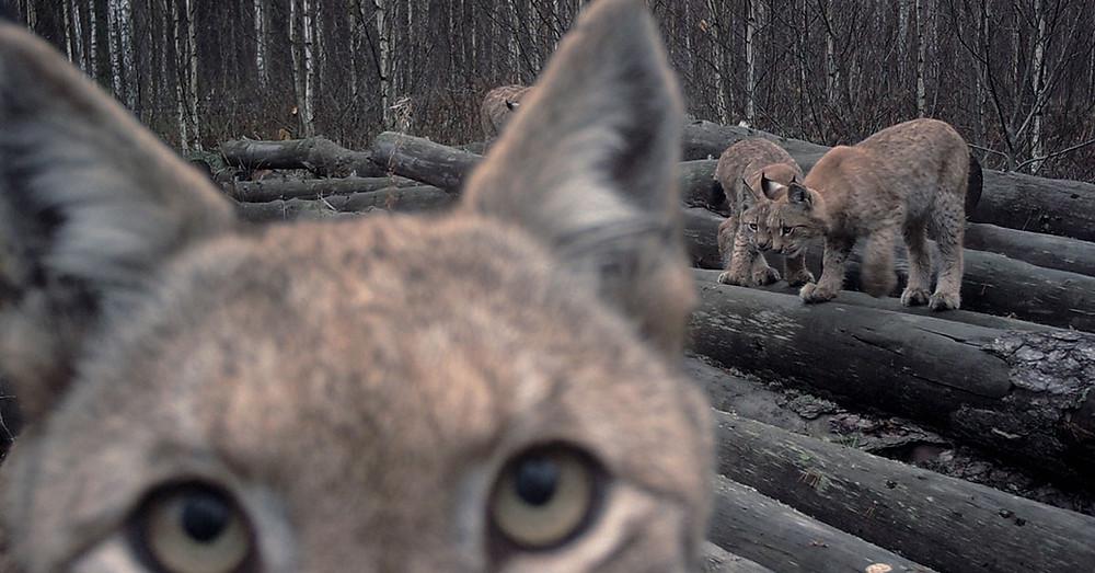 Lynx family on the abandoned log pile in Naliboki Forest.