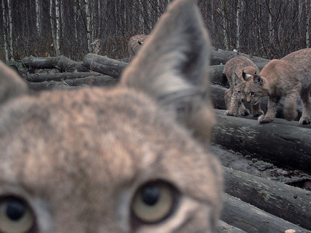 Lynx story about one logging spot with abandoned log piles in Naliboki Forest