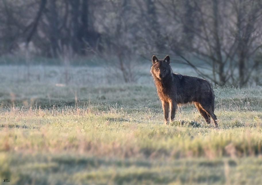 wolf in Belarus