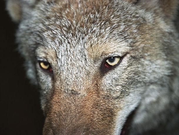 watching wild wolves - wildlife holidays - wildlife tours to Naliboki Forest