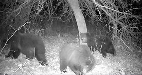watching brown bear - wildlife holidays - wildlife tours to Naliboki Forest