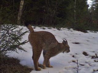 Lynx quest in Naliboki Forest