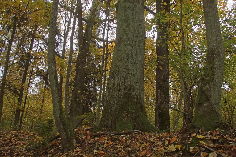 Старасьвецкі лес у Налібоцкай пушчы.