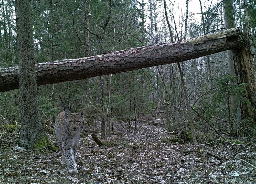 lynx in a treefall