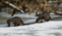 watching otters - wildlife holidays - wildlife tours to Naliboki Forest