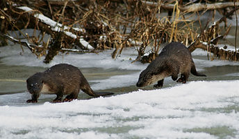 watching otters - wildlife holidays - wildlife tours to Naliboki Forest