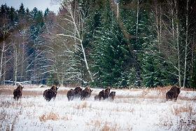 watching wild bisons watching - wildlife holidays - wildlife tours to Naliboki Forest