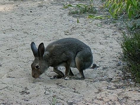 Ці ёсьць яшчэ зайцы-белякі ў Налібоцкай пушчы?