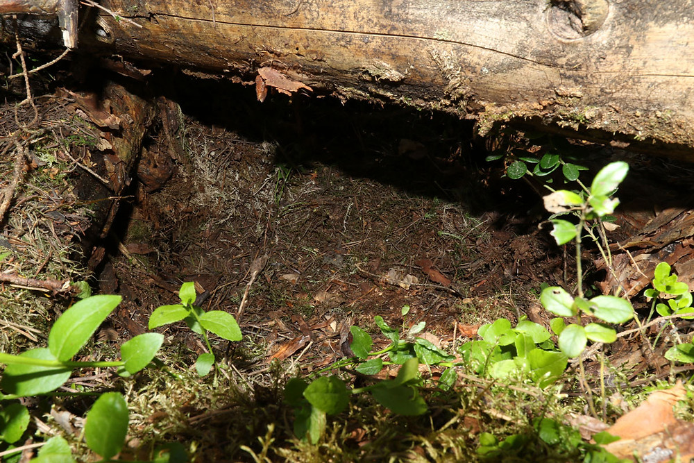 The lynx denning spot in the boggy pine stand at clearcut.