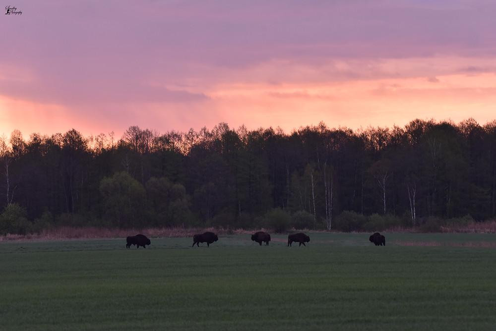 bisons in Belarus