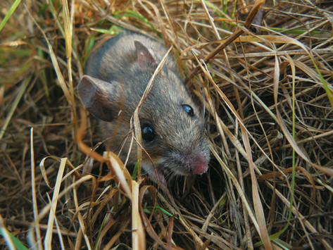 Small rodents (mice and voles) species diversity in Naliboki Forest