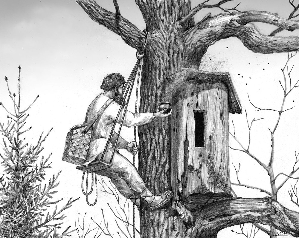 Bortnik checking a beehive in Naliboki Forest, 16th-18th centuries. Drawing by Aliaksandr Mitianin.