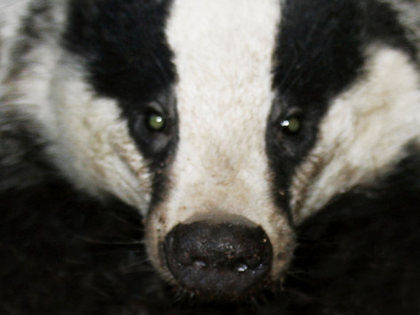 Badgers in Naliboki Forest: knowledge up-to-date