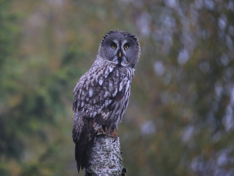 Great grey owl gets common in Naliboki Forest