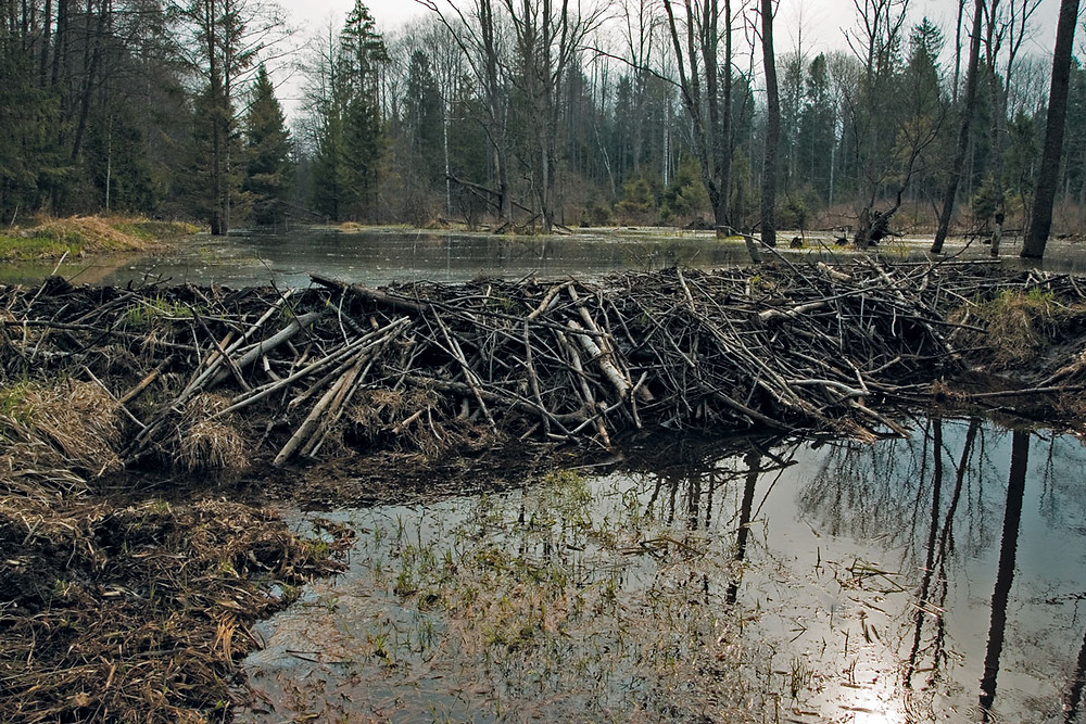 Beaver dam on drainage canal in Naliboki Forest.