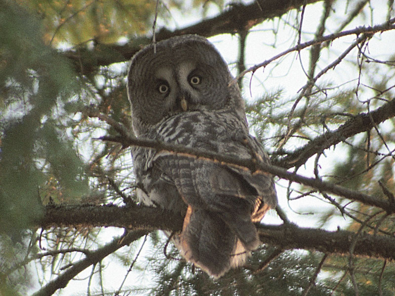 Great grey owl is wide-spread species in Naliboki Forest.