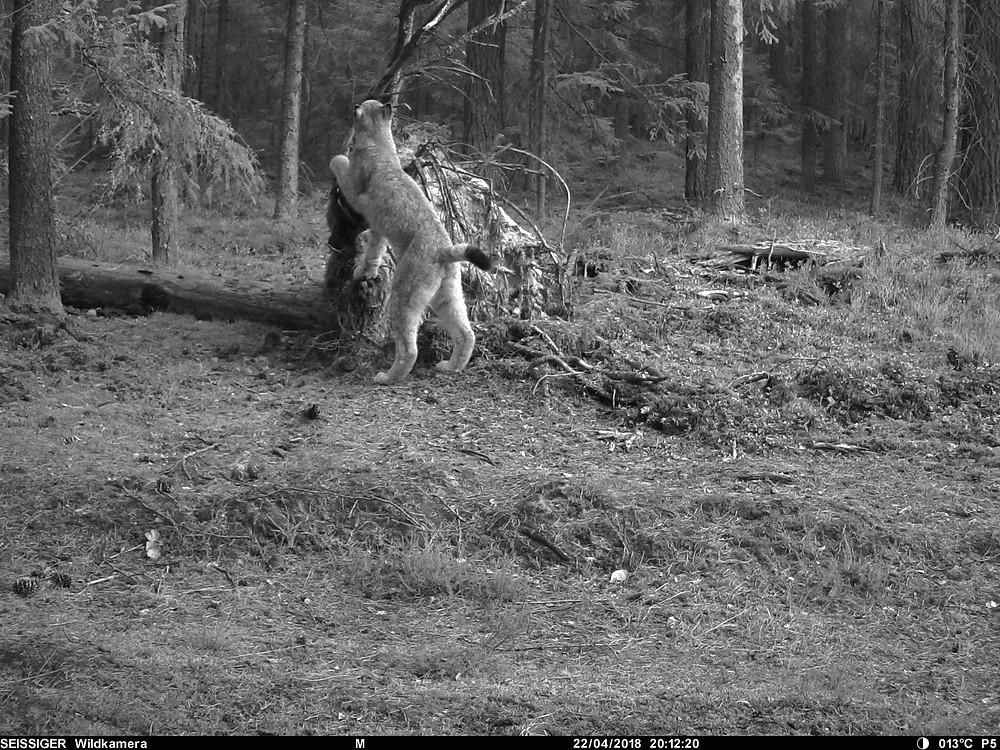 lynx marking