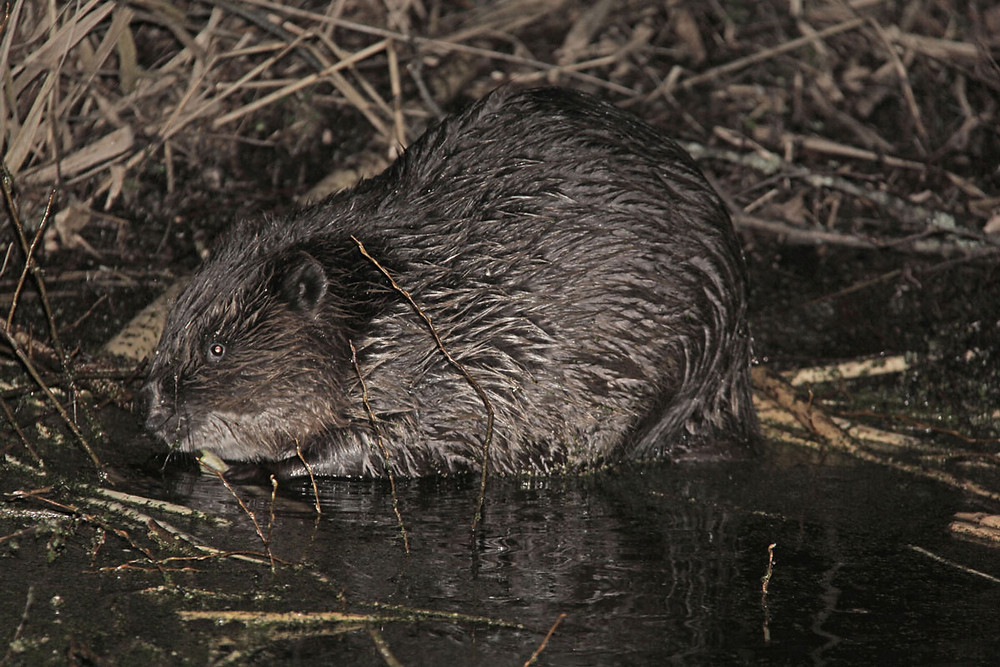 Beaver populated all rivers and drainage canals in Naliboki Forest.