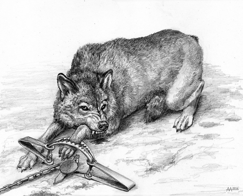 Wolf that was caught by leg-hold trap, 18th century. Drawing by Aliaksandr Mitianin.