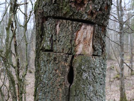 Хто ў Налібоцкай пушчы клусуе пчолак, што пасяліліся ў дубох?