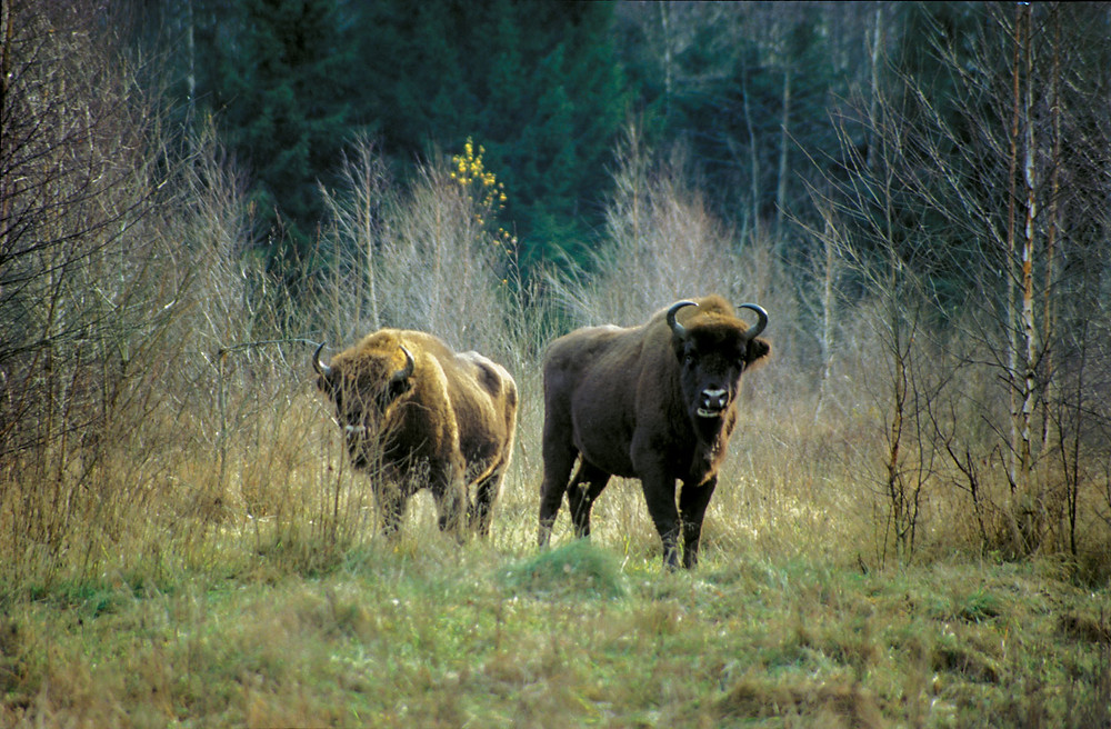Bison in Nasliboki Forest. Currently there are about 100 of bison.