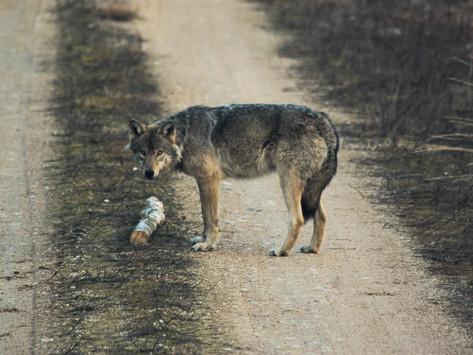 Kuz'ma the male wolf, long-term lone survivor