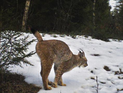 Legendary Kazimir the lynx
