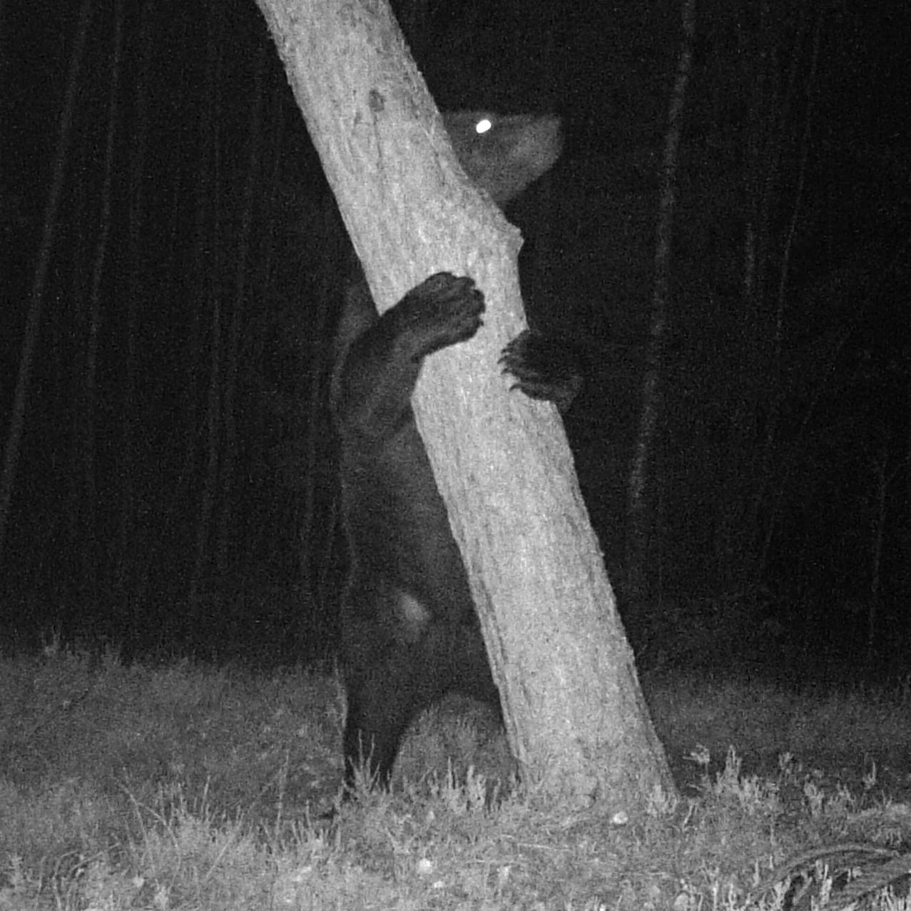 Territorial marking by brown bear in Naliboki Forest.