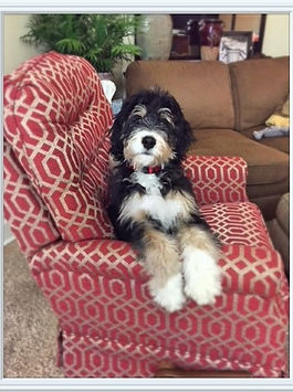 Testimonials What Is It Like To Adopt A Bernedoodle Puppy