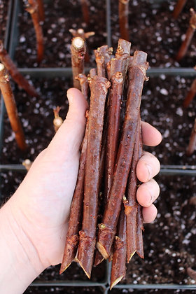 Elderberry Cuttings (Shipping Cost Included)